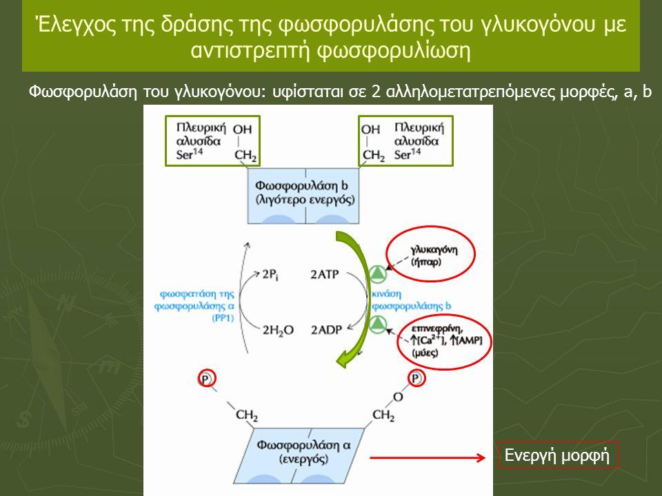 Έλεγχος της δράσης της φωσφορυλάσης του γλυκογόνου με αντιστρεπτή φωσφορυλίωση Φωσφορυλάση του γλυκογόνου: υφίσταται σε 2 αλληλομετατρεπόμενες μορφές, a, b Ενεργή μορφή