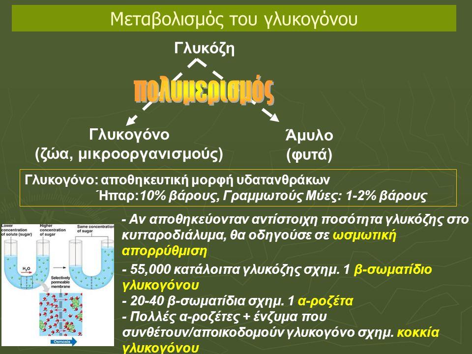 Γλυκόζη Γλυκογόνο (ζώα, μικροοργανισμούς) Άμυλο (φυτά) Γλυκογόνο: αποθηκευτική μορφή υδατανθράκων Ήπαρ:10% βάρους, Γραμμωτούς Μύες: 1-2% βάρους - Αν αποθηκεύονταν αντίστοιχη ποσότητα γλυκόζης στο κυτταροδιάλυμα, θα οδηγούσε σε ωσμωτική απορρύθμιση - 55,000 κατάλοιπα γλυκόζης σχημ.