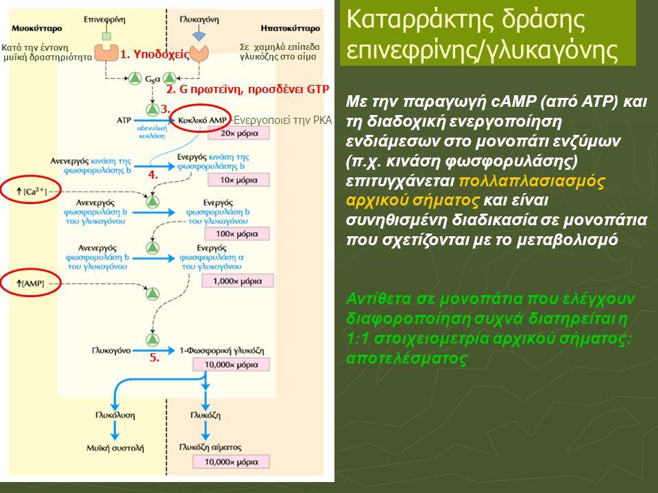 Καταρράκτης δράσης επινεφρίνης/γλυκαγόνης Με την παραγωγή cAMP (από ΑΤΡ) και τη διαδοχική ενεργοποίηση ενδιάμεσων στο μονοπάτι ενζύμων (π.χ.