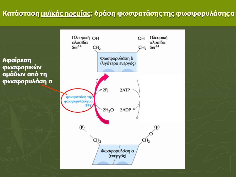 Κατάσταση μυϊκής ηρεμίας: δράση φωσφατάσης της φωσφορυλάσης α Αφαίρεση φωσφορικών ομάδων από τη φωσφορυλάση α