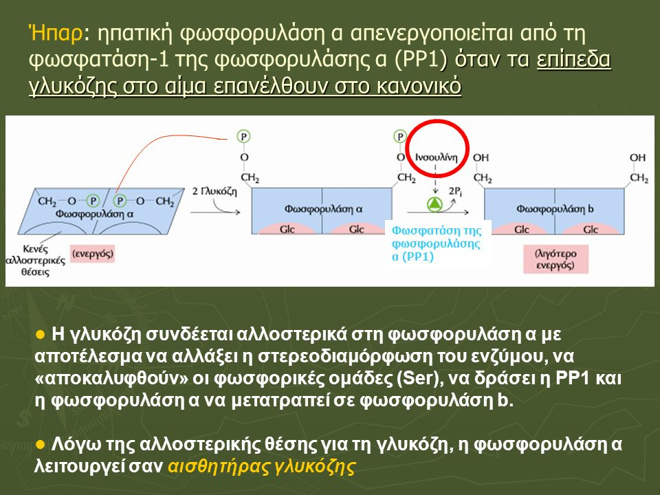 ) όταν τα επίπεδα γλυκόζης στο αίμα επανέλθουν στο κανονικό Ήπαρ: ηπατική φωσφορυλάση α απενεργοποιείται από τη φωσφατάση-1 της φωσφορυλάσης α (ΡΡ1) όταν τα επίπεδα γλυκόζης στο αίμα επανέλθουν στο κανονικό Η γλυκόζη συνδέεται αλλοστερικά στη φωσφορυλάση α με αποτέλεσμα να αλλάξει η στερεοδιαμόρφωση του ενζύμου, να «αποκαλυφθούν» οι φωσφορικές ομάδες (Ser), να δράσει η ΡΡ1 και η φωσφορυλάση α να μετατραπεί σε φωσφορυλάση b.