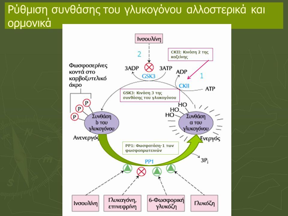 Ρύθμιση συνθάσης του γλυκογόνου αλλοστερικά και ορμονικά GSK3: Κινάση 3 της συνθάσης του γλυκογόνου CKII: Κινάση 2 της καζείνης 1 2 ΡΡ1: Φωσφατάση-1 των φωσφοπρωτεινών
