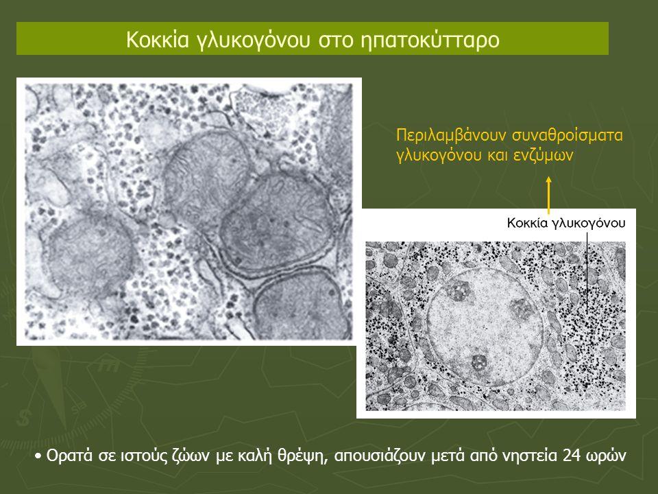 Κοκκία γλυκογόνου στο ηπατοκύτταρο Ορατά σε ιστούς ζώων με καλή θρέψη, απουσιάζουν μετά από νηστεία 24 ωρών Περιλαμβάνουν συναθροίσματα γλυκογόνου και ενζύμων