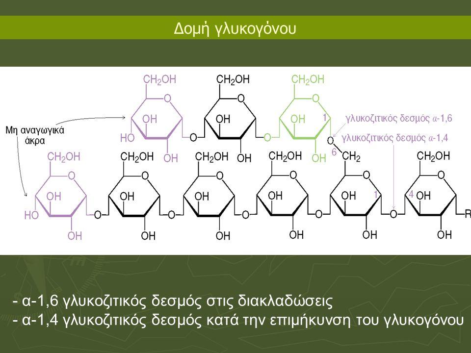 - α-1,6 γλυκοζιτικός δεσμός στις διακλαδώσεις - α-1,4 γλυκοζιτικός δεσμός κατά την επιμήκυνση του γλυκογόνου Δομή γλυκογόνου
