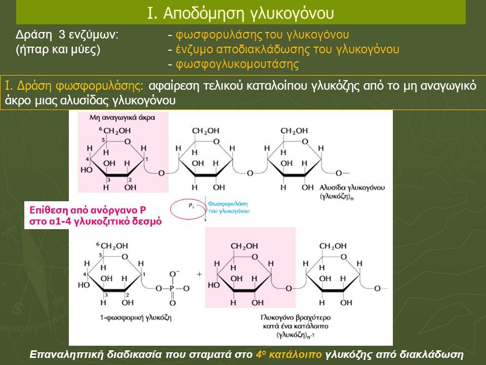Επαναληπτική διαδικασία που σταματά στο 4 ο κατάλοιπο γλυκόζης από διακλάδωση Δράση 3 ενζύμων: - φωσφορυλάσης του γλυκογόνου (ήπαρ και μύες) - ένζυμο αποδιακλάδωσης του γλυκογόνου - φωσφογλυκομουτάσης Ι.
