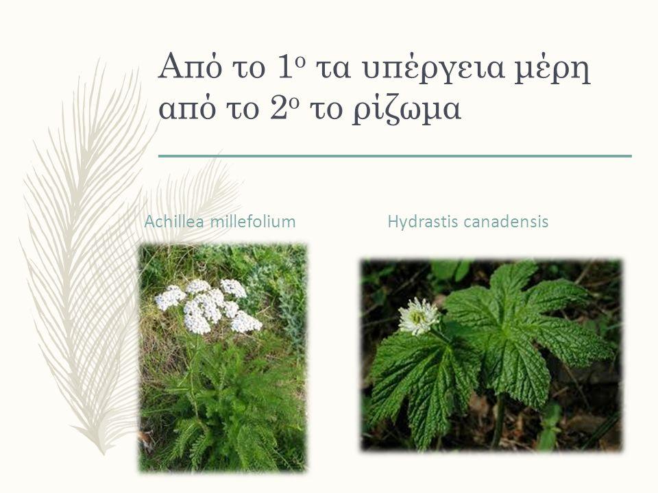 Από το 1 ο τα υπέργεια μέρη από το 2 ο το ρίζωμα Achillea millefolium Hydrastis canadensis