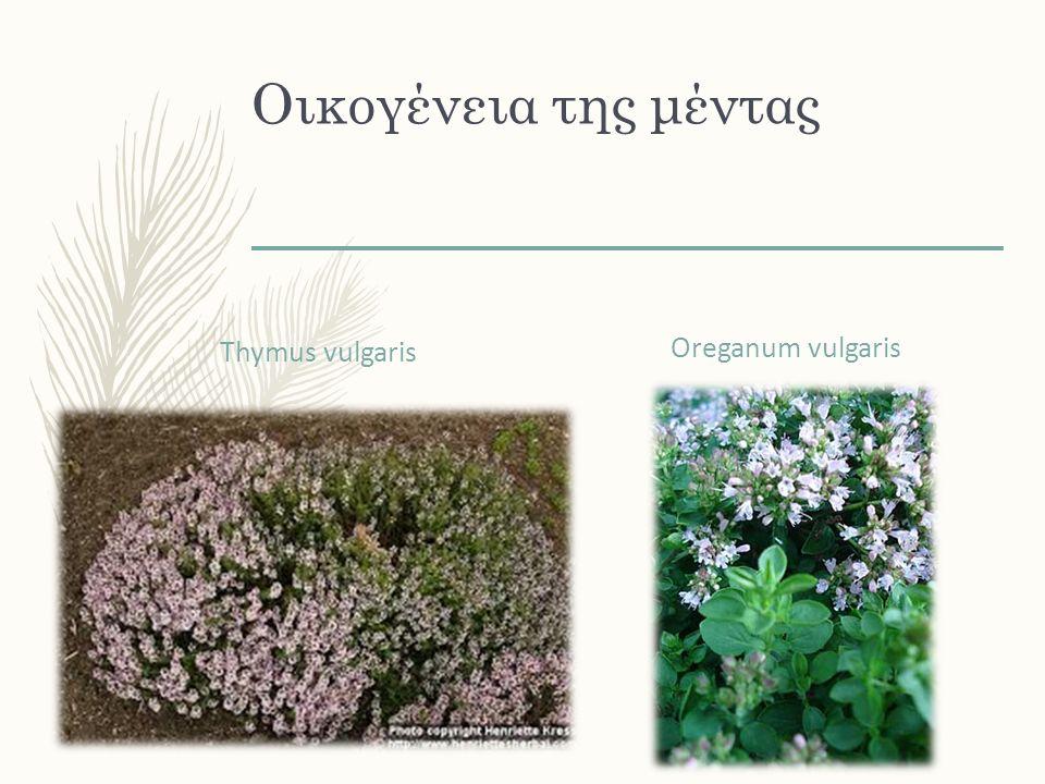 Οικογένεια της μέντας Thymus vulgaris Oreganum vulgaris