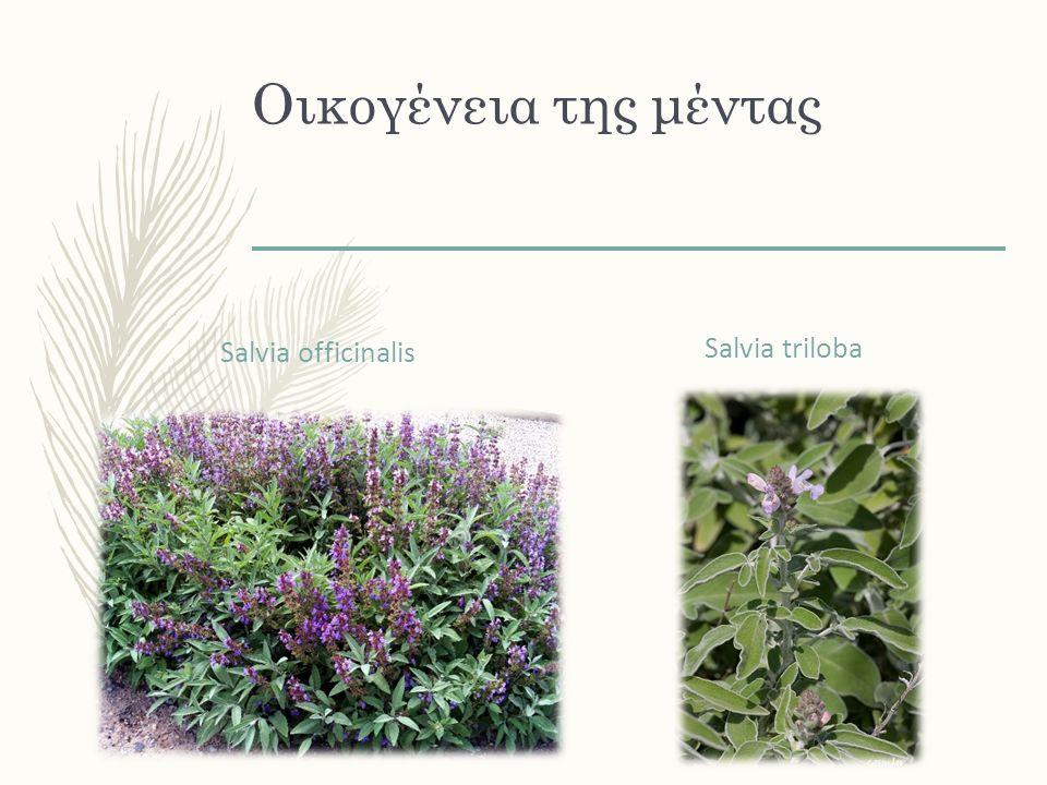 Οικογένεια της μέντας Salvia officinalis Salvia triloba