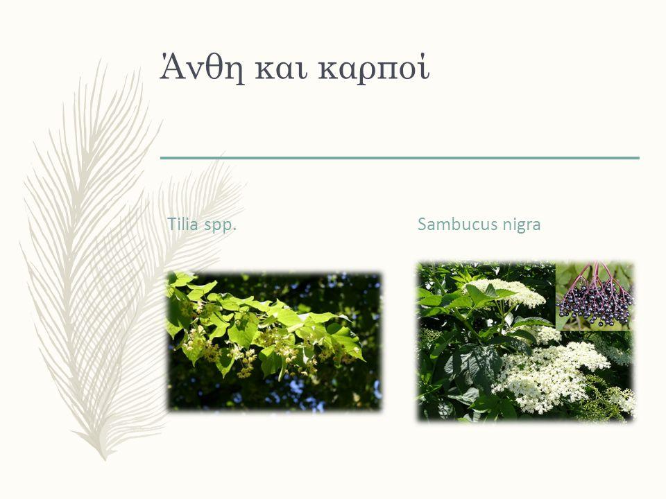 Άνθη και καρποί Tilia spp. Sambucus nigra