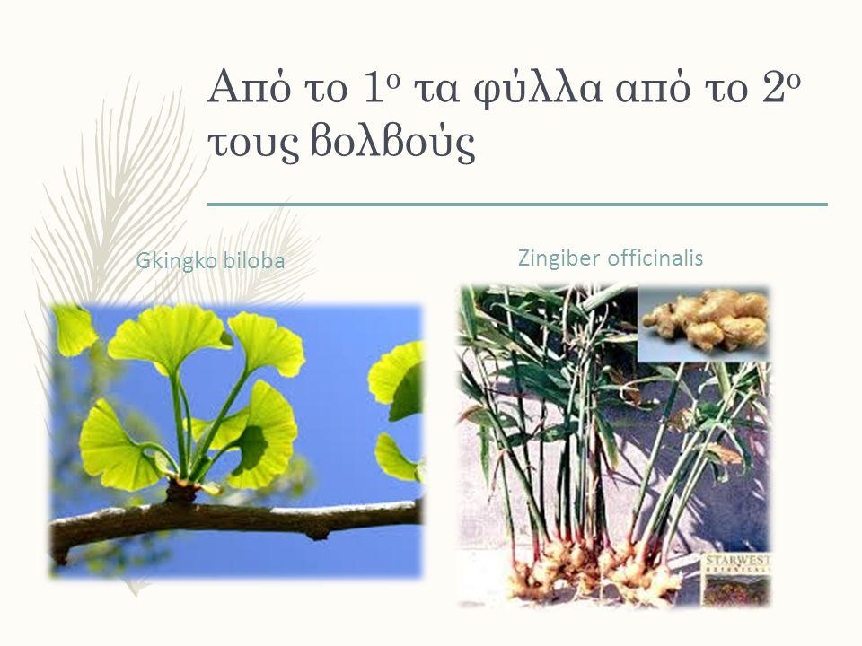 Από το 1 ο τα φύλλα από το 2 ο τους βολβούς Gkingko biloba Zingiber officinalis
