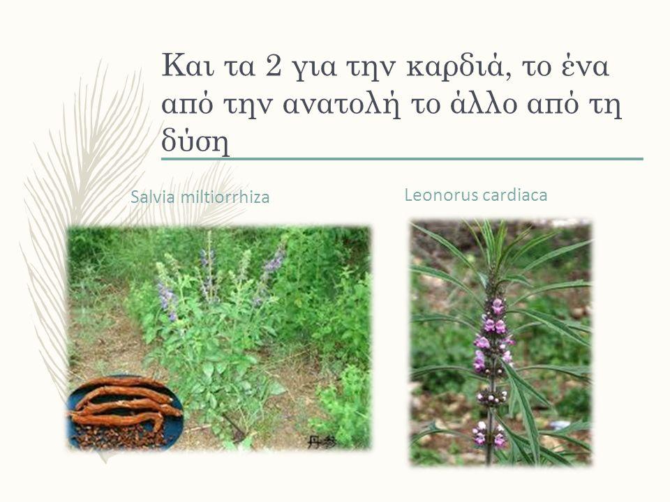 Και τα 2 για την καρδιά, το ένα από την ανατολή το άλλο από τη δύση Salvia miltiorrhiza Leonorus cardiaca