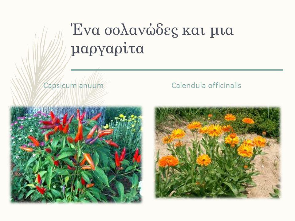 Ένα σολανώδες και μια μαργαρίτα Capsicum anuum Calendula officinalis