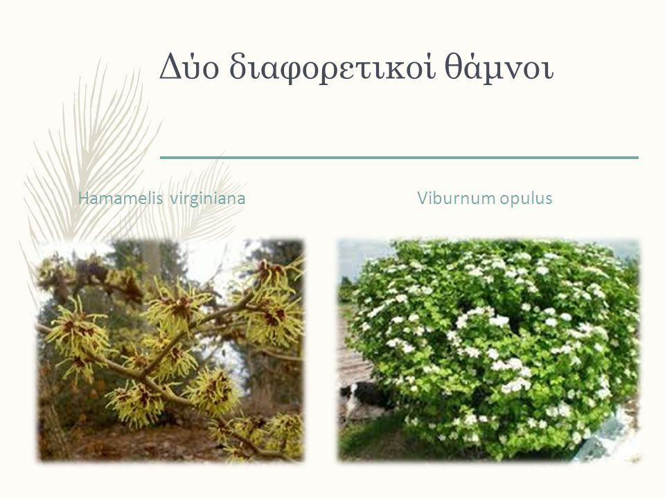 Δύο διαφορετικοί θάμνοι Hamamelis virginiana Viburnum opulus