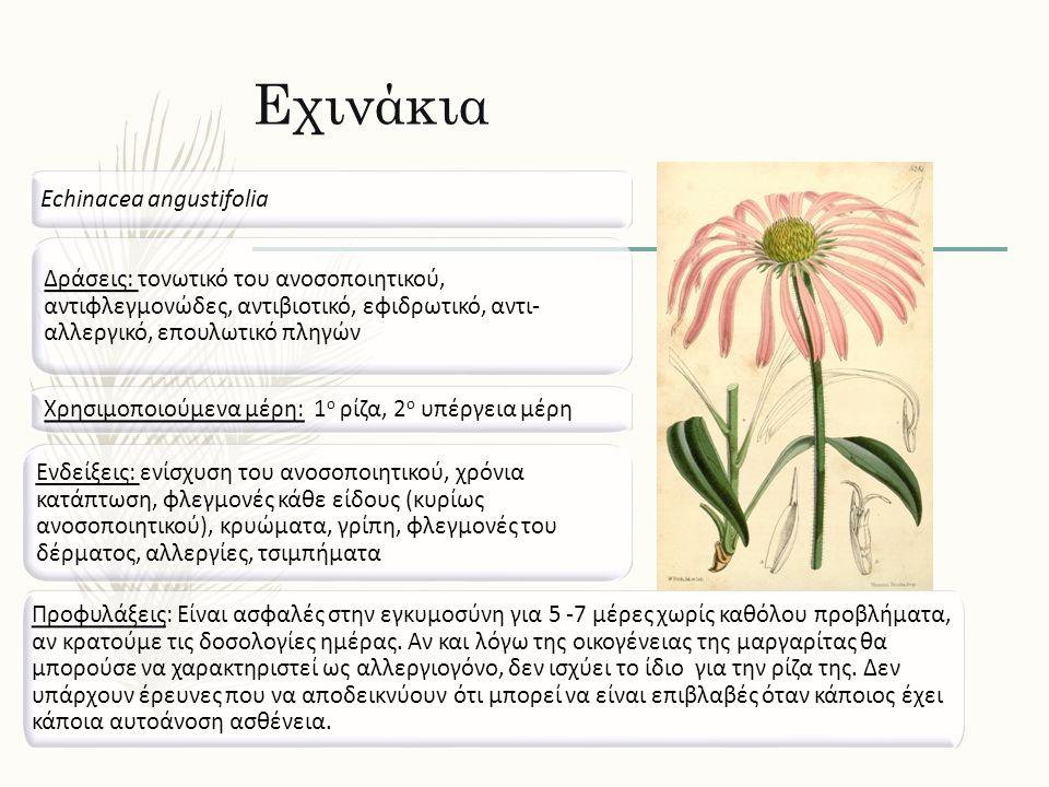 Εχινάκια Echinacea angustifolia Δράσεις: τονωτικό του ανοσοποιητικού, αντιφλεγμονώδες, αντιβιοτικό, εφιδρωτικό, αντι- αλλεργικό, επουλωτικό πληγών Ενδ