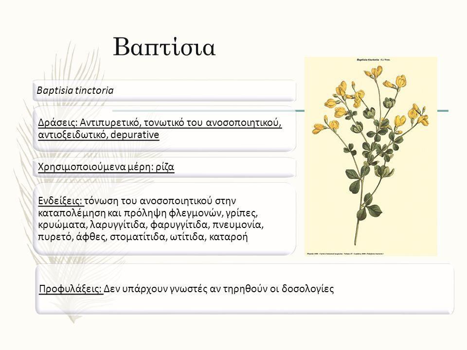 Βαπτίσια Baptisia tinctoria Δράσεις: Αντιπυρετικό, τονωτικό του ανοσοποιητικού, αντιοξειδωτικό, depurative Ενδείξεις: τόνωση του ανοσοποιητικού στην καταπολέμηση και πρόληψη φλεγμονών, γρίπες, κρυώματα, λαρυγγίτιδα, φαρυγγίτιδα, πνευμονία, πυρετό, άφθες, στοματίτιδα, ωτίτιδα, καταροή Προφυλάξεις: Δεν υπάρχουν γνωστές αν τηρηθούν οι δοσολογίες Χρησιμοποιούμενα μέρη: ρίζα
