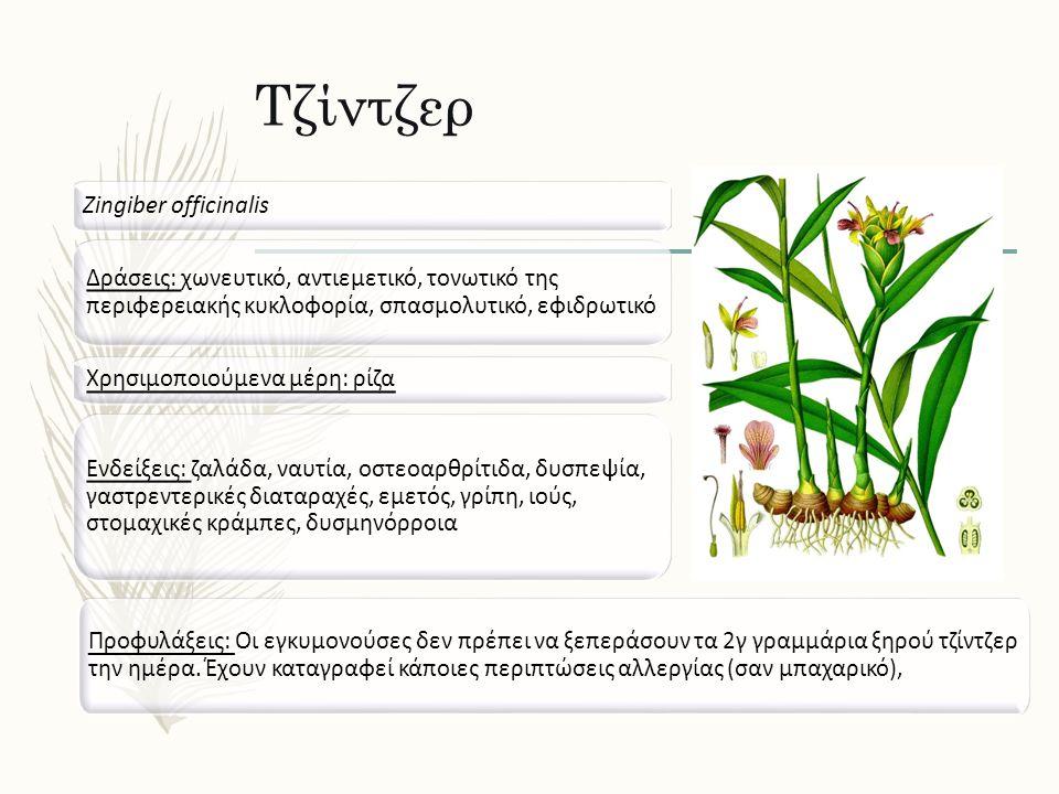 Τζίντζερ Zingiber officinalis Δράσεις: χωνευτικό, αντιεμετικό, τονωτικό της περιφερειακής κυκλοφορία, σπασμολυτικό, εφιδρωτικό Ενδείξεις: ζαλάδα, ναυτ