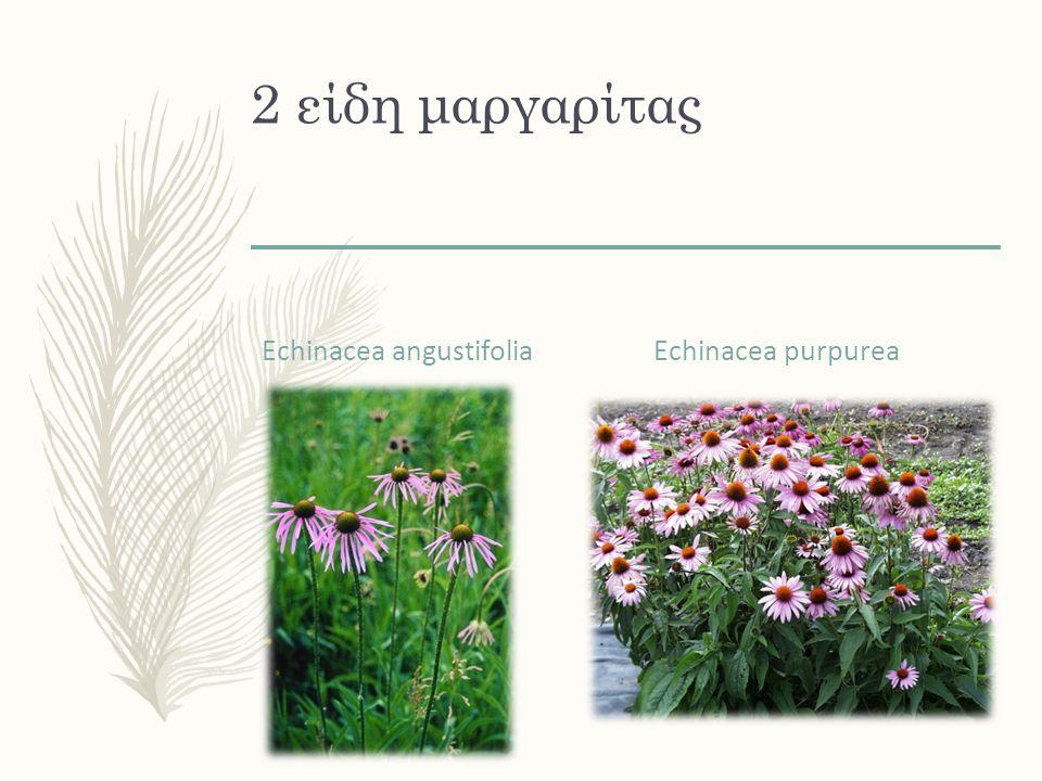 2 είδη μαργαρίτας Echinacea angustifolia Echinacea purpurea