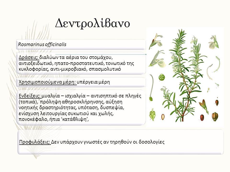Δεντρολίβανο Rosmarinus officinalis Δράσεις: διαλύων τα αέρια του στομάχου, αντιοξειδωτικό, ηπατο-προστατευτικό, τονωτικό της κυκλοφορίας, αντι-μικροβ