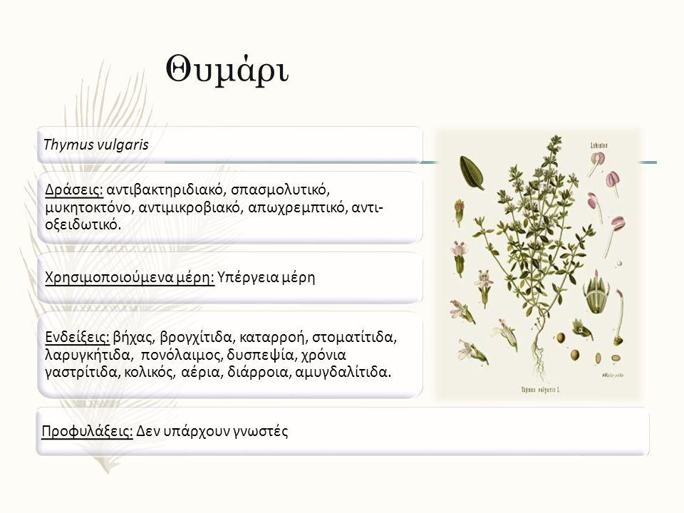 Θυμάρι Thymus vulgaris Δράσεις: αντιβακτηριδιακό, σπασμολυτικό, μυκητοκτόνο, αντιμικροβιακό, απωχρεμπτικό, αντι- οξειδωτικό. Ενδείξεις: βήχας, βρογχίτ