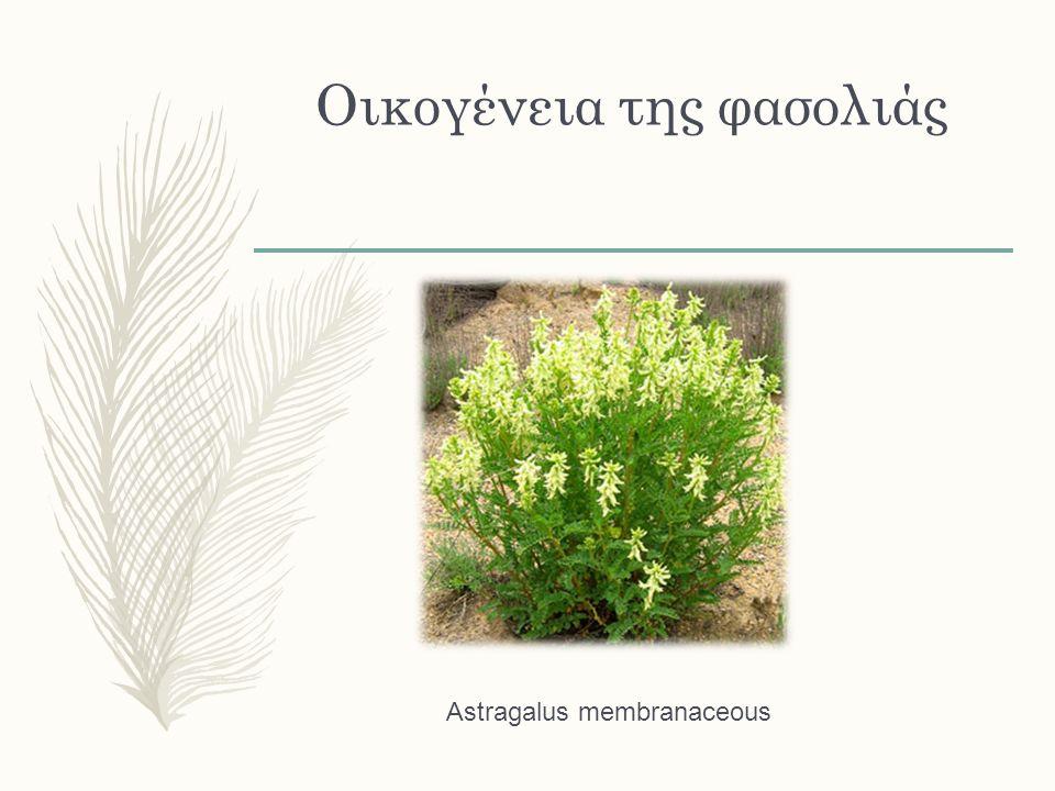 Φαρμακείο στο σπίτι μας Αναπνευστικό Αν υπάρχει πυρετός, τότε τα καταλληλότερα είναι το τίλιο (Tilia spp), ο σαμπούκος (Sambucus nigra) και η αχίλλεια (Achillea millefolium).