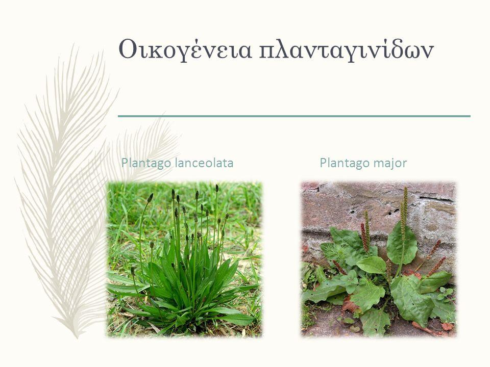 Από το πρωτο τα ριζίδια από το 2 ο τις φλούδες των σπόρων του Ranunculus ficaria Plantago psyllium