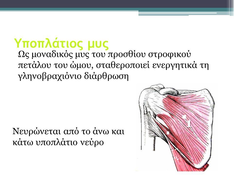 Υποπλάτιος μυς Ως μοναδικός μυς του προσθίου στροφικού πετάλου του ώμου, σταθεροποιεί ενεργητικά τη γληνοβραχιόνιο διάρθρωση 1 Νευρώνεται από το άνω κ