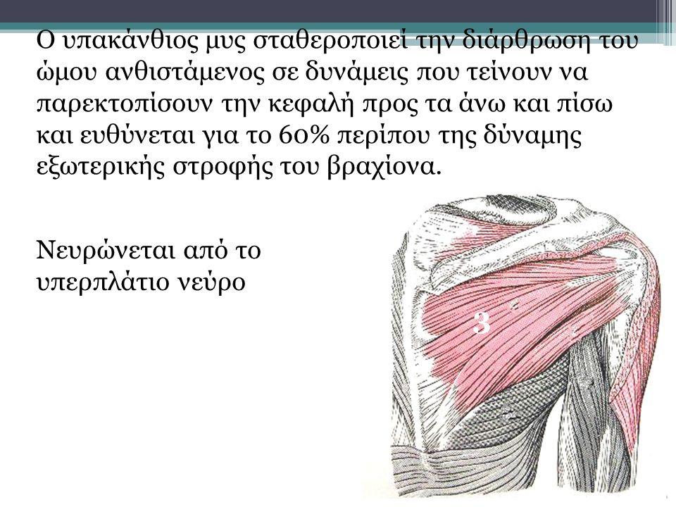 3 Ο υπακάνθιος μυς σταθεροποιεί την διάρθρωση του ώμου ανθιστάμενος σε δυνάμεις που τείνουν να παρεκτοπίσουν την κεφαλή προς τα άνω και πίσω και ευθύν