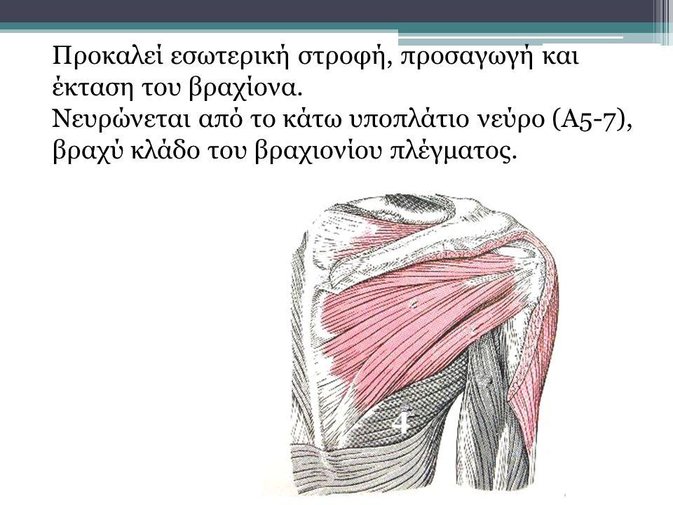 4 Προκαλεί εσωτερική στροφή, προσαγωγή και έκταση του βραχίονα. Νευρώνεται από το κάτω υποπλάτιο νεύρο (Α5-7), βραχύ κλάδο του βραχιονίου πλέγματος.