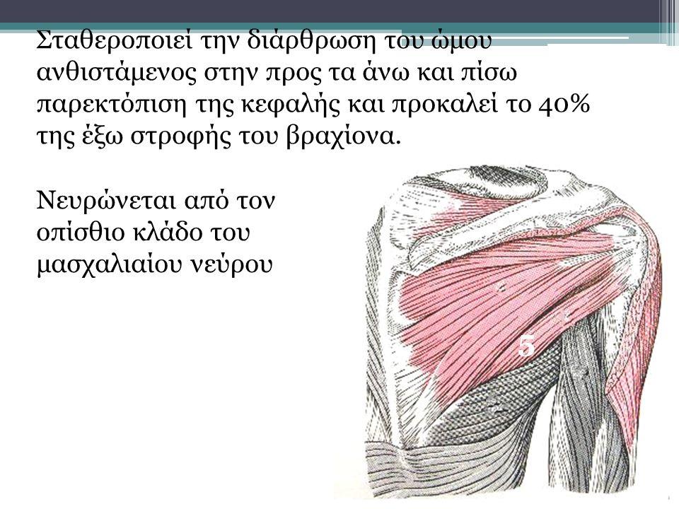 Σταθεροποιεί την διάρθρωση του ώμου ανθιστάμενος στην προς τα άνω και πίσω παρεκτόπιση της κεφαλής και προκαλεί το 40% της έξω στροφής του βραχίονα. 5