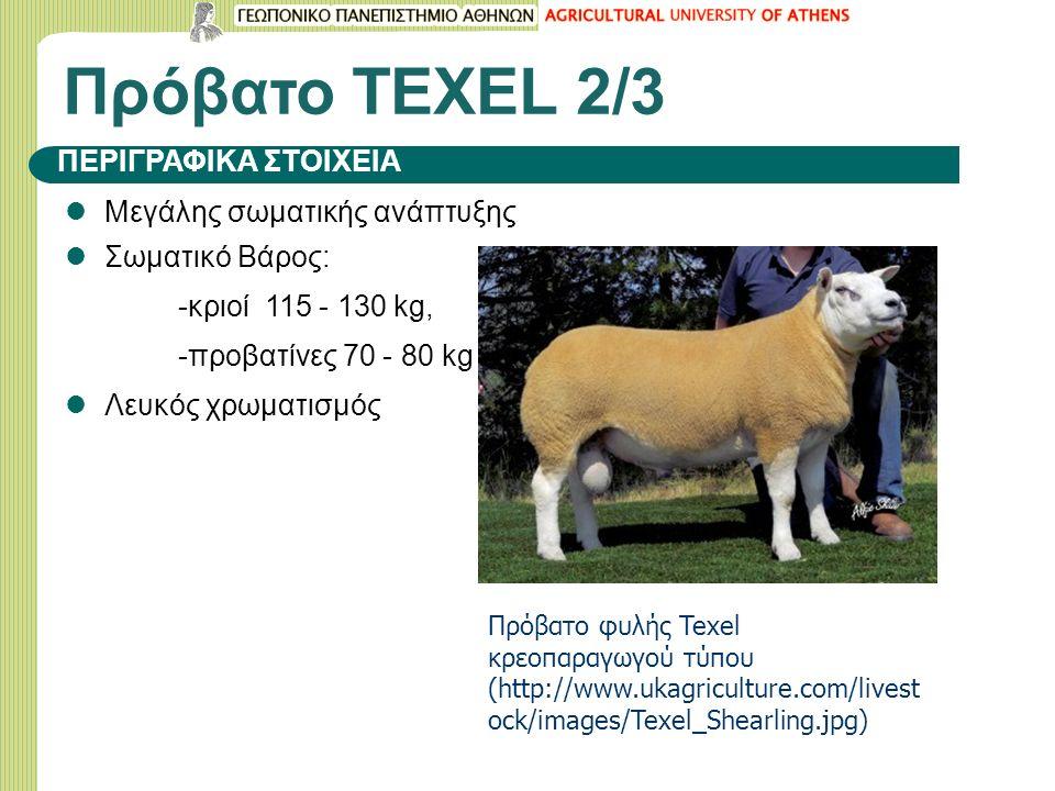 Πρόβατο ΤΕΧΕL 2/3 Μεγάλης σωματικής ανάπτυξης Σωματικό Βάρος: -κριοί 115 - 130 kg, -προβατίνες 70 - 80 kg Λευκός χρωματισμός ΠΕΡΙΓΡΑΦΙΚΑ ΣΤΟΙΧΕΙΑ Πρόβατο φυλής Texel κρεοπαραγωγού τύπου (http://www.ukagriculture.com/livest ock/images/Texel_Shearling.jpg)