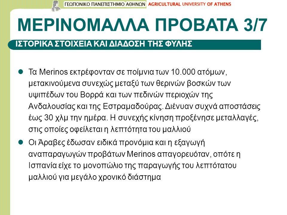 ΜΕΡΙΝΟΜΑΛΛΑ ΠΡΟΒΑΤΑ 3/7 Τα Merinos εκτρέφονταν σε ποίμνια των 10.000 ατόμων, μετακινούμενα συνεχώς μεταξύ των θερινών βοσκών των υψιπέδων του Βορρά κα