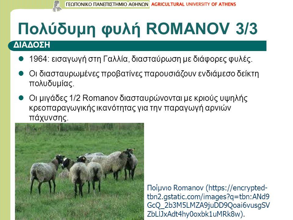 1964: εισαγωγή στη Γαλλία, διασταύρωση με διάφορες φυλές. Οι διασταυρωμένες προβατίνες παρουσιάζουν ενδιάμεσο δείκτη πολυδυμίας. Οι μιγάδες 1/2 Romano