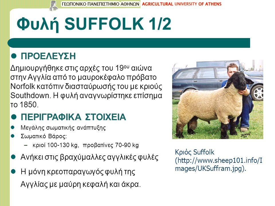 Φυλή SUFFOLK 1/2 ΠΡΟΕΛΕΥΣΗ Δημιουργήθηκε στις αρχές του 19 ου αιώνα στην Αγγλία από το μαυροκέφαλο πρόβατο Νοrfolk κατόπιν διασταύρωσής του με κριούς