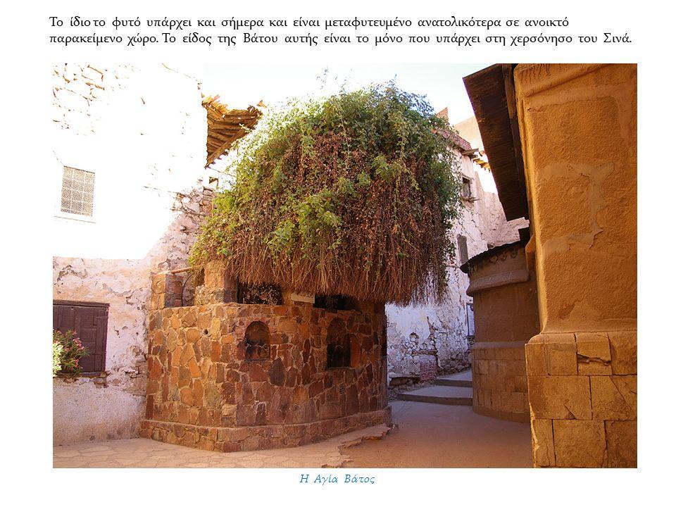 Η Αγία Βάτος Το ίδιο το φυτό υπάρχει και σήμερα και είναι μεταφυτευμένο ανατολικότερα σε ανοικτό παρακείμενο χώρο.