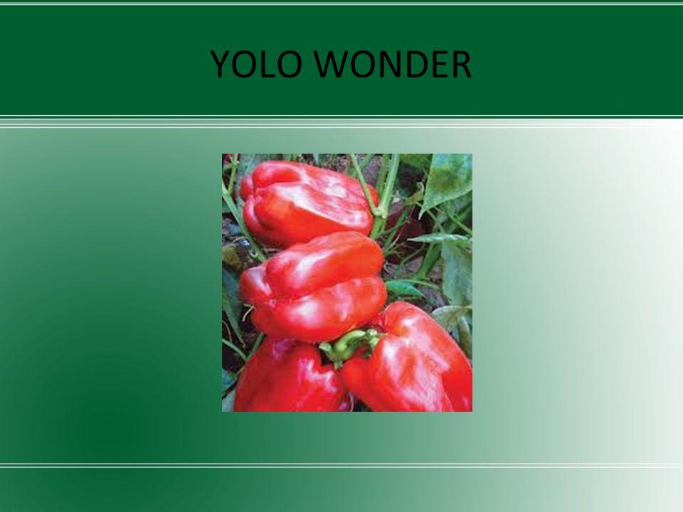 YOLO WONDER