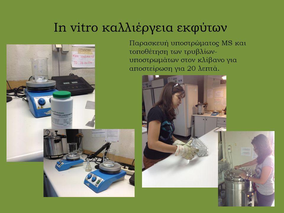 In vitro καλλιέργεια εκφύτων Παρασκευή υποστρώματος MS και τοποθέτηση των τρυβλίων- υποστρωμάτων στον κλίβανο για αποστείρωση για 20 λεπτά.