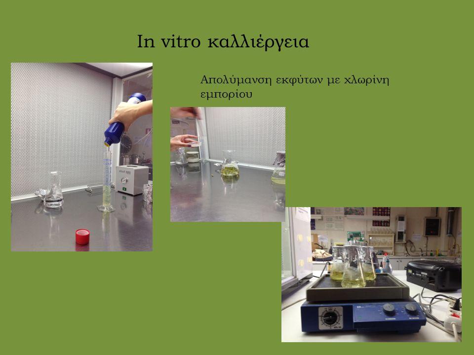 In vitro καλλιέργεια Απολύμανση εκφύτων με χλωρίνη εμπορίου