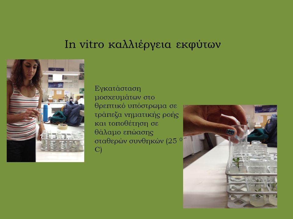 In vitro καλλιέργεια εκφύτων Εγκατάσταση μοσχευμάτων στο θρεπτικό υπόστρωμα σε τράπεζα νηματικής ροής και τοποθέτηση σε θάλαμο επώασης σταθερών συνθηκών (25 0 C)