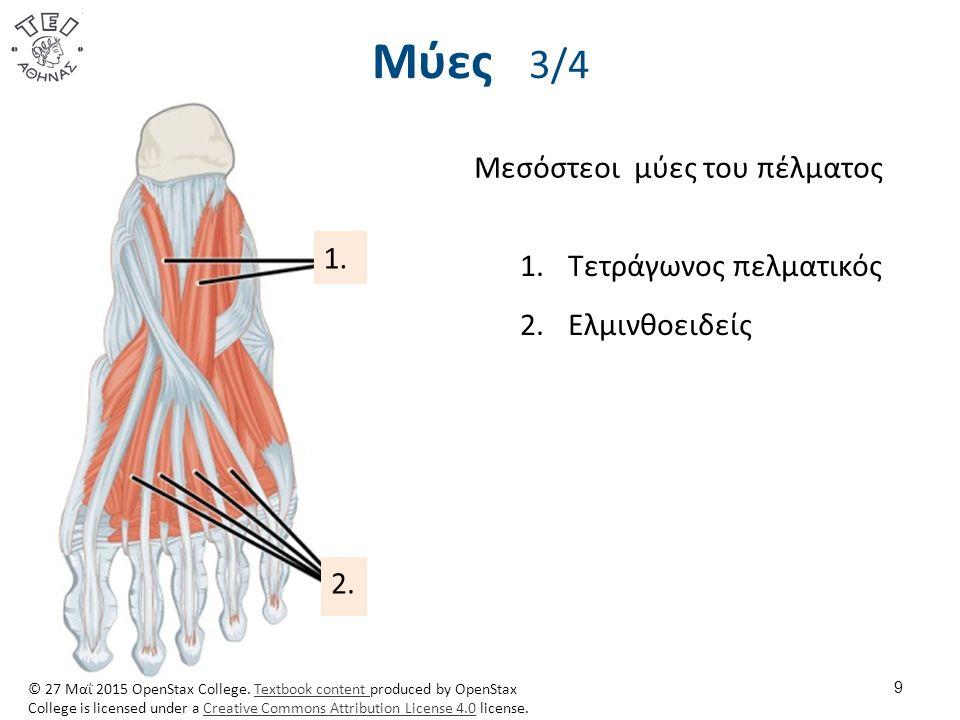 Μύες 3/4 9 Μεσόστεοι μύες του πέλματος 1.Τετράγωνος πελματικός 2.Ελμινθοειδείς 1. 2. © 27 Μαΐ 2015 OpenStax College. Textbook content produced by Open