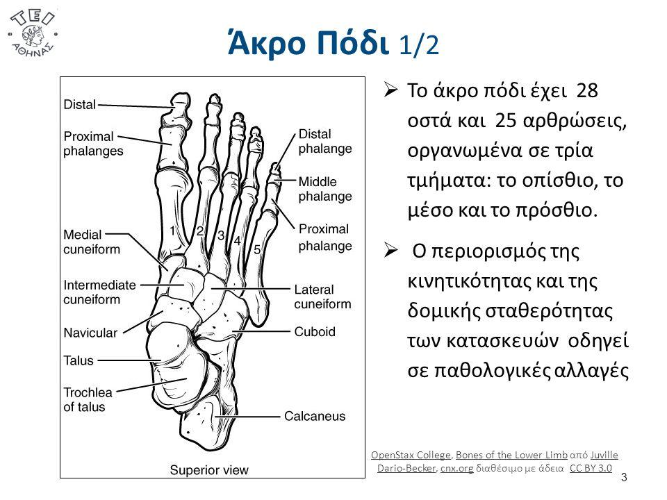 Άκρο Πόδι 1/2  Το άκρο πόδι έχει 28 οστά και 25 αρθρώσεις, οργανωμένα σε τρία τμήματα: το οπίσθιο, το μέσο και το πρόσθιο.  Ο περιορισμός της κινητι