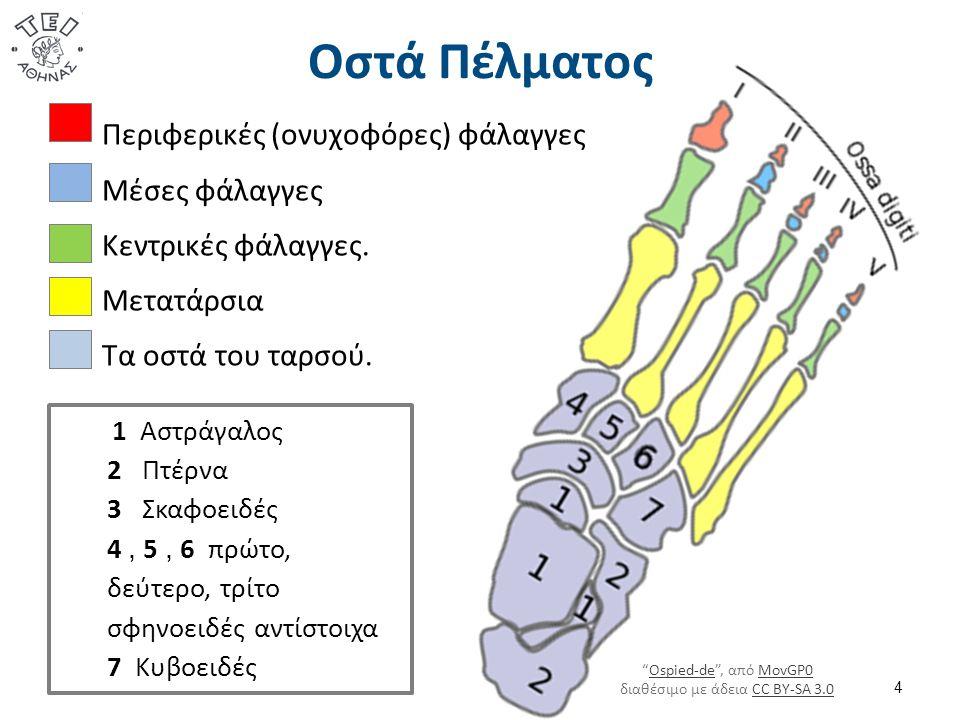 Οστά Πέλματος 4 Περιφερικές (ονυχοφόρες) φάλαγγες Μέσες φάλαγγες Κεντρικές φάλαγγες. Μετατάρσια Τα οστά του ταρσού. 1 Αστράγαλος 2 Πτέρνα 3 Σκαφοειδές