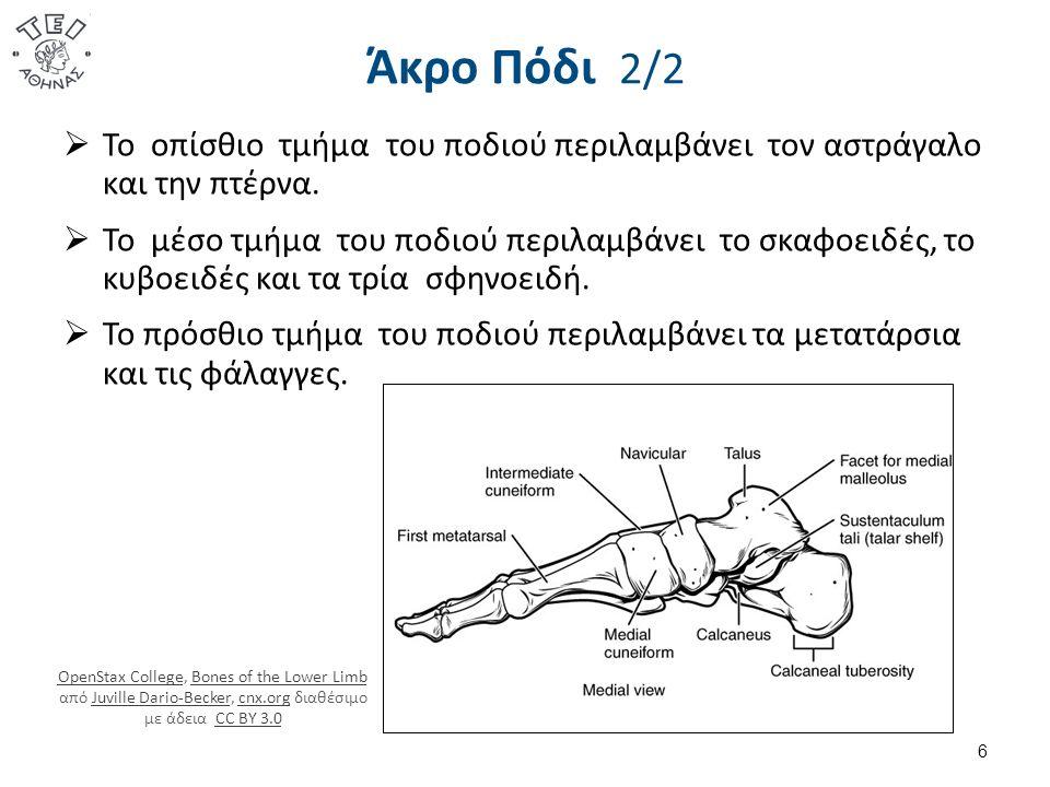 Άκρο Πόδι 2/2  Το οπίσθιο τμήμα του ποδιού περιλαμβάνει τον αστράγαλο και την πτέρνα.  Το μέσο τμήμα του ποδιού περιλαμβάνει το σκαφοειδές, το κυβοε