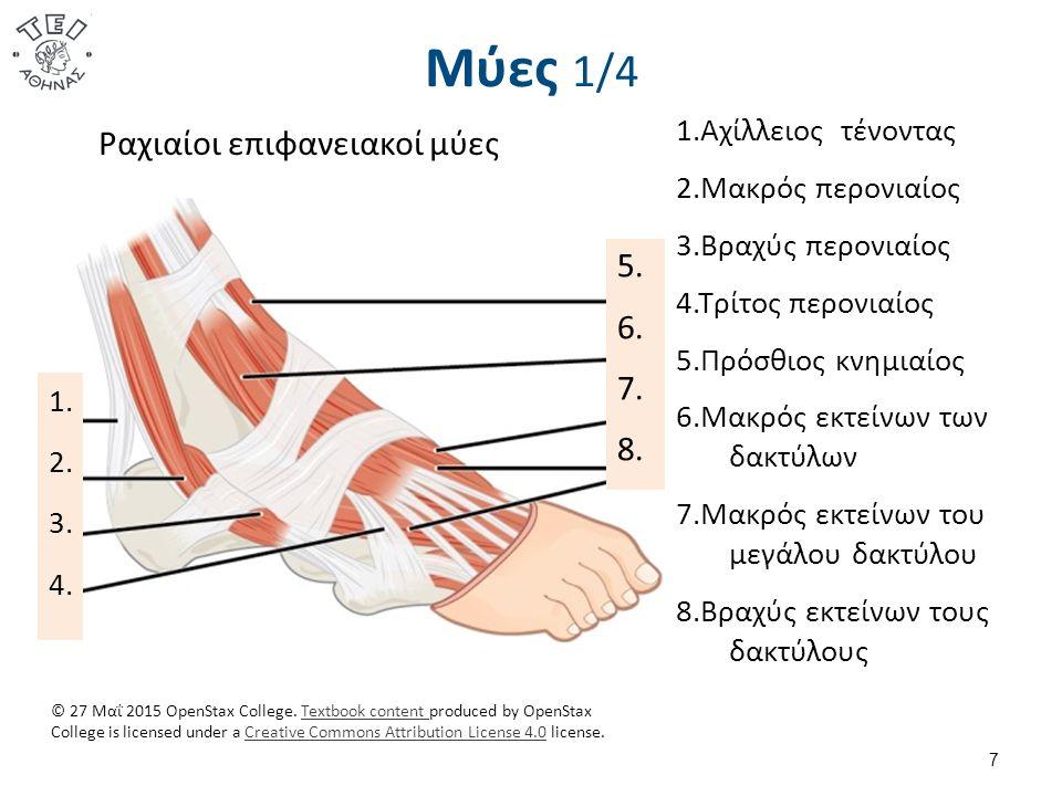 Μύες 1/4 7 1. 2. 3. 4. 5. 6. 7. 8. Ραχιαίοι επιφανειακοί μύες 1.Αχίλλειος τένοντας 2.Μακρός περονιαίος 3.Βραχύς περονιαίος 4.Τρίτος περονιαίος 5.Πρόσθ