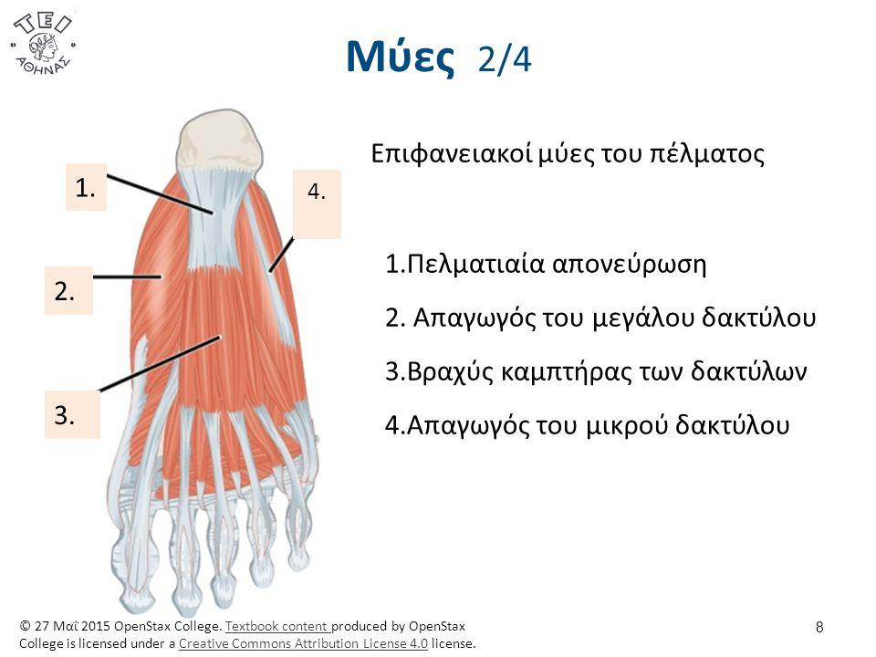 Μύες 2/4 8 Επιφανειακοί μύες του πέλματος 1.Πελματιαία απονεύρωση 2. Απαγωγός του μεγάλου δακτύλου 3.Βραχύς καμπτήρας των δακτύλων 4.Απαγωγός του μικρ