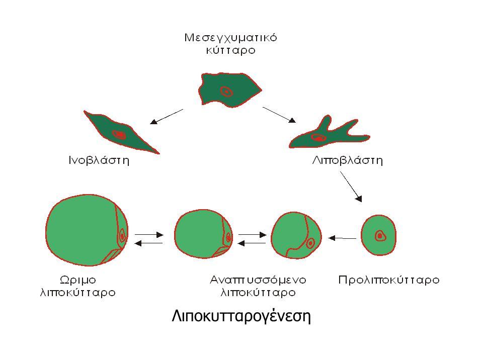 Λιποκυτταρογένεση