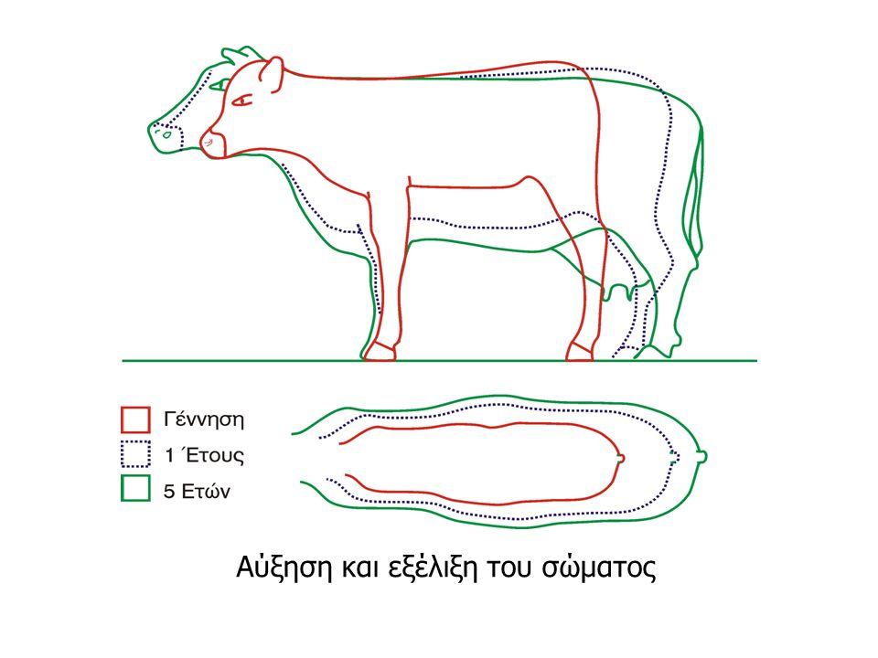 Διαφορική ανάπτυξη Οι ιστοί και τα μέρη του σώματος αναπτύσσονται με διαφορετικό ρυθμό.