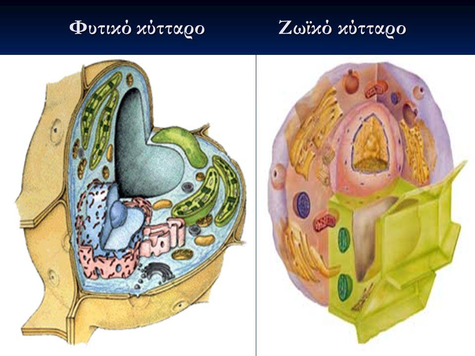 Φυτικό κύτταρο Ζωϊκό κύτταρο