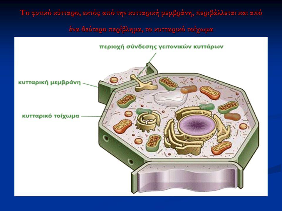 Το φυτικό κύτταρο, εκτός από την κυτταρική μεμβράνη, περιβάλλεται και από ένα δεύτερο περίβλημα, το κυτταρικό τοίχωμα