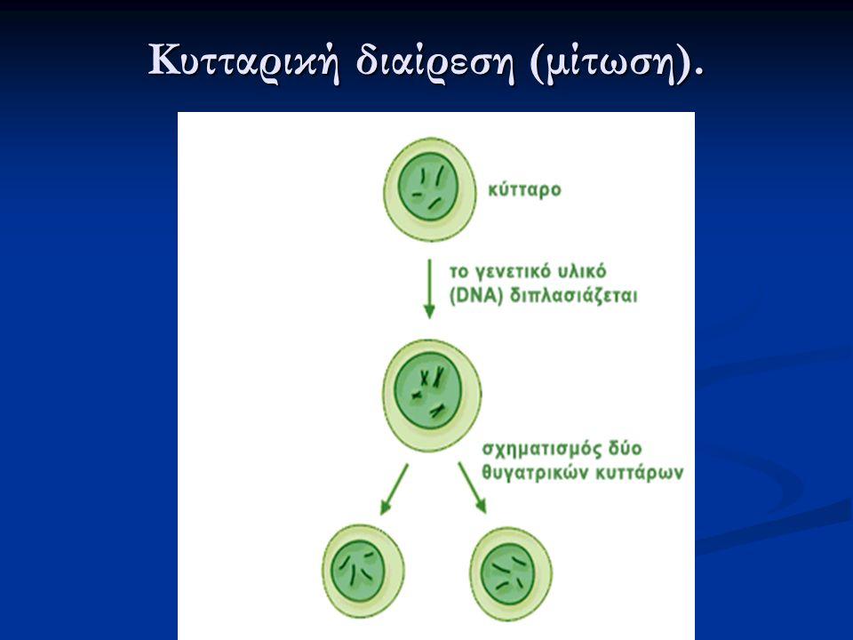 Κυτταρική διαίρεση (μίτωση).