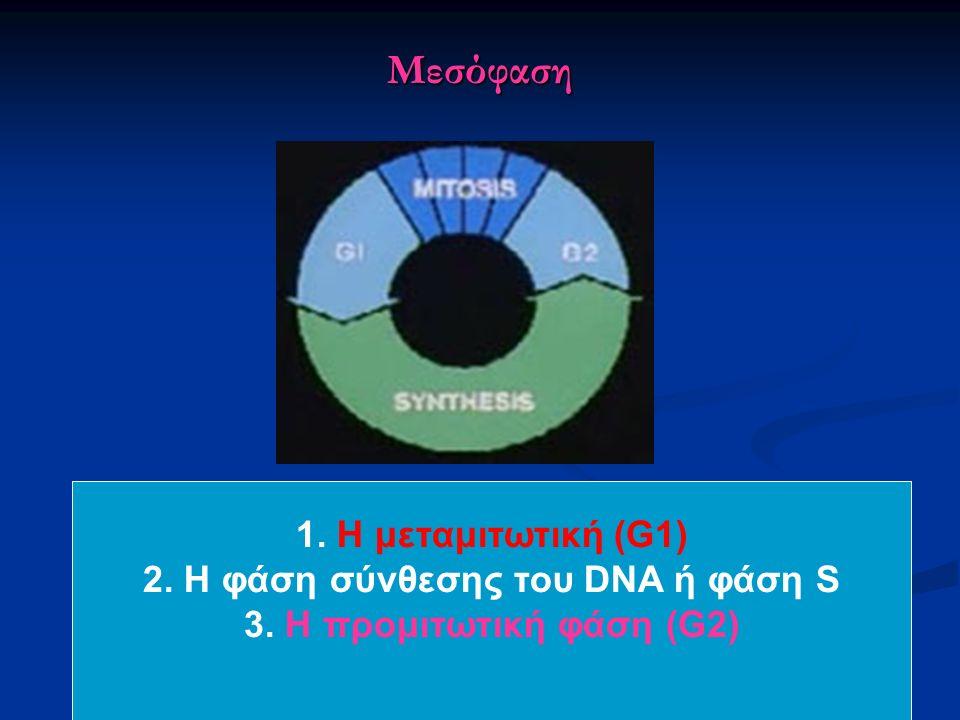 Μεσόφαση 1. Η μεταμιτωτική (G1) 2. Η φάση σύνθεσης του DNA ή φάση S 3. Η προμιτωτική φάση (G2)